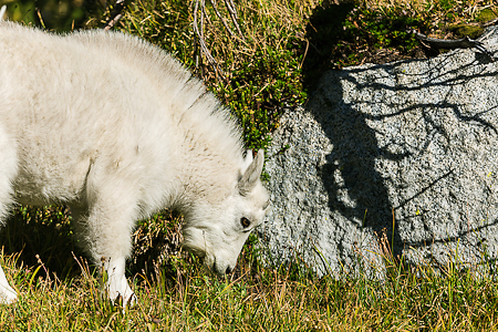 Mountain Goat Kid Grazing in The Enchantments