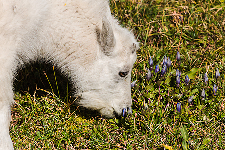 Mountain Goat Kid Grazing among Mountain Bog Gentians