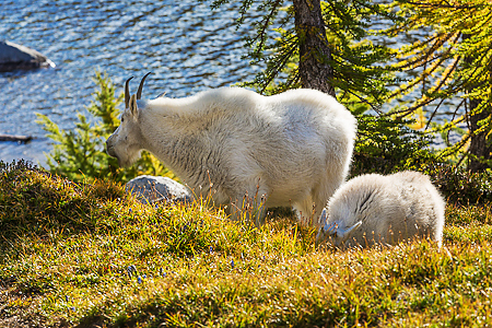 Mountain Goat Kid and Nanny Grazing in The Enchantments