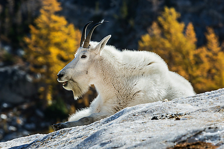 Mountain Goat Nanny Resting on a Snowfield in The Enchantments