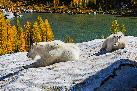 Mountain Goat Nanny and Kid Resting on Snowfield in The Enchantm