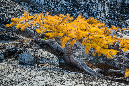 Alpine Larch near Timberline in The Enchantments