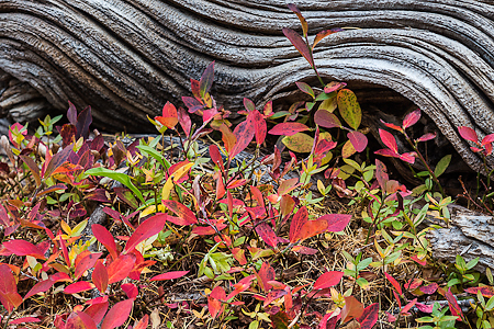 Autumn Huckleberry Leaves and Weathered Wood in The Enchantments