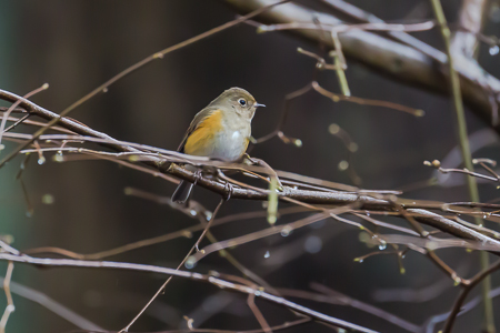 Red-Flanked_Bluetail-20
