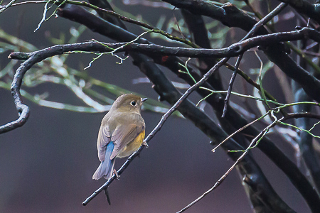 Red-Flanked_Bluetail-30-2