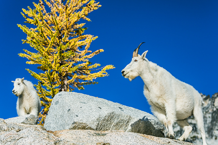 Mountain Goats and Alpine Larch in The Enchantments