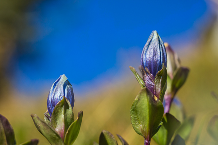 Mountain Bog Gentian Blooming in The Enchantments