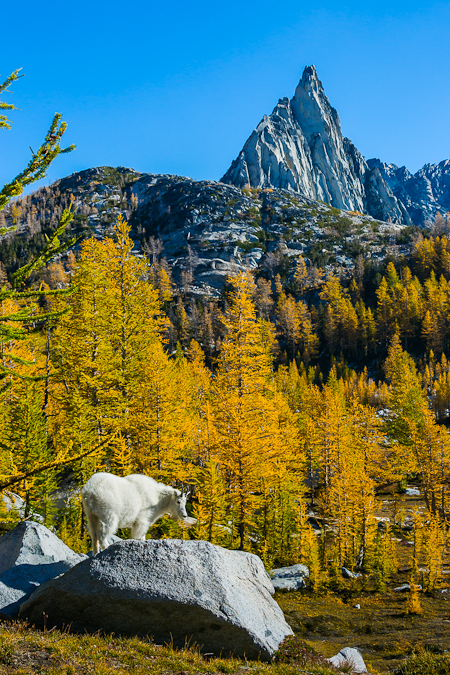 Mountain Goat with Prusik Peak and Alpine Larch in The Enchantme
