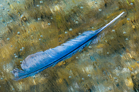 Mountain Bluebird Feather on Ice in The Enchantments
