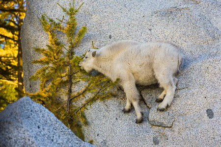 Mountain Goat Kid Browsing Alpine Larch in The Enchantments