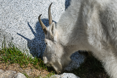 Mountain Goat Nanny Casting Shadow While Grazing in The Enchantm