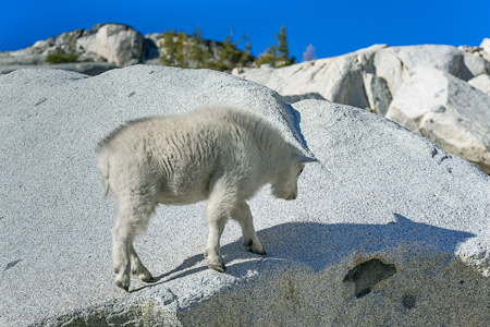 Mountain Goat Kid on a Large Granite Boulder in The Enchantments