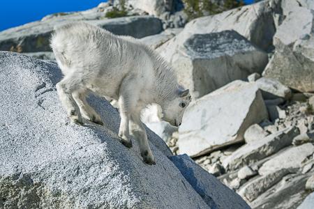 Mountain Goat Kid Descending Boulder in The Enchantments