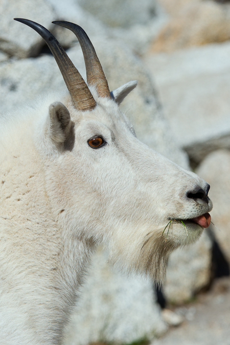 Mountain Goat Nanny among Granite Boulders in The Enchantments