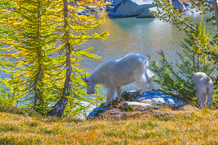 Mountain Goat Nanny and Kid along Perfection Lake
