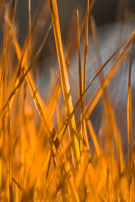 Autumn-colored Sedges in The Enchantments