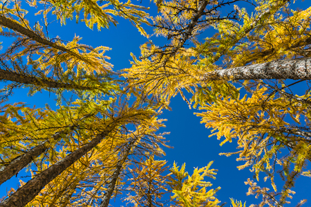 Looking up at Alpine Larches in Autumn in The Enchantments