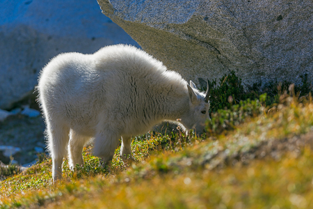Backlit Mountain Goat Grazing in Subalpine Meadow in The Enchant