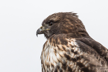 Red-tailed Hawk in Samish Flats of Washington State
