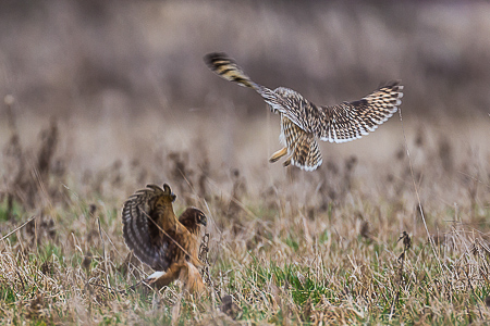 Short-eared Owl and Northern Harrier Skirmishing in Samish Flats