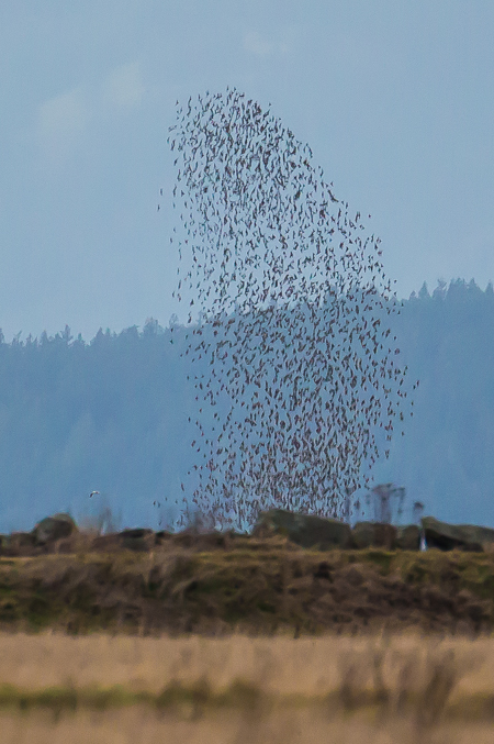 Murmuration of a Flock of Small Birds in the Samish Flats