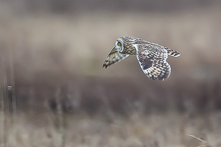 Short-eared Owl in Flight while Hunting in Samish Flats