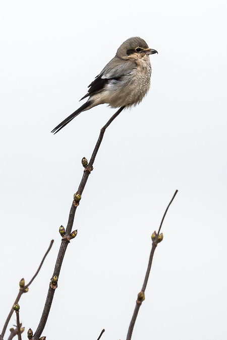 Northern Shrike in Samish Flats Area of Puget Sound