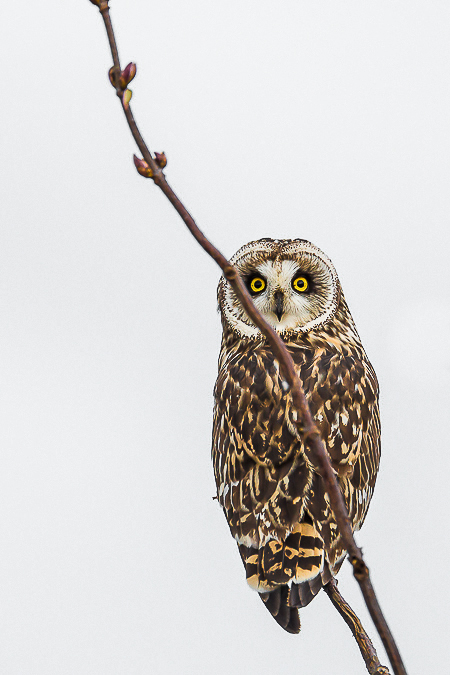 Short-eared Owl Perched in a Shrub in the Samish Flats