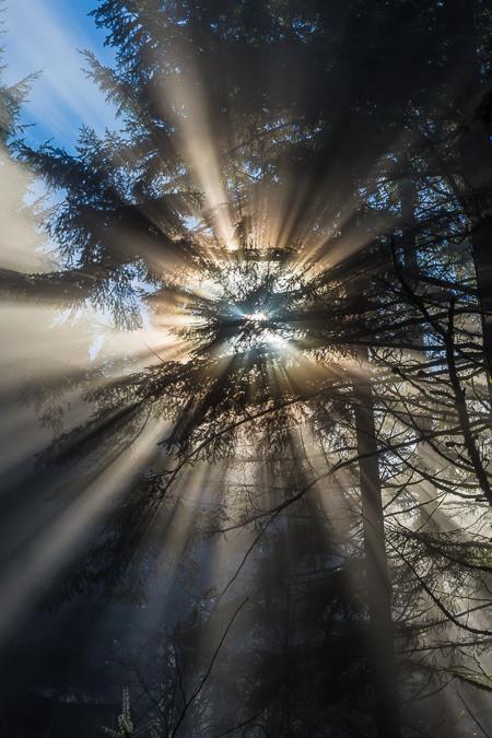 Sun Burning through Fog in Conifer Forest near Mount St. Helens