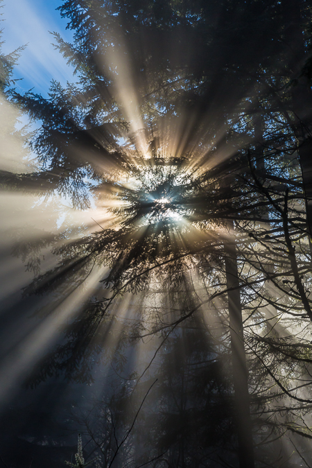 Sun Burning through Fog in Conifer Forest near Mount St. Helens