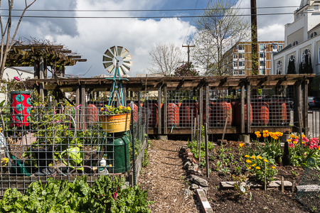 Seattle_Pea_Patch-5