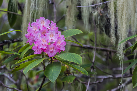 Pacific Rhododendron in bloom in Olympic National Forest