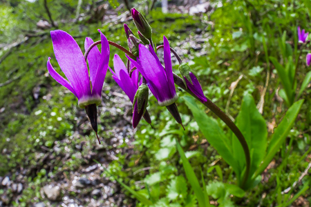 Jeffrey's Shooting Star Flowering in Olympic National Forest