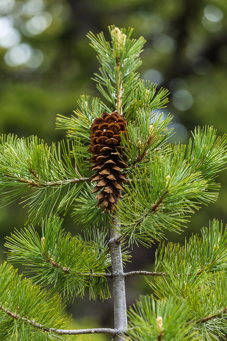 Western White Pine Needles and Cone in Olympic National Forest