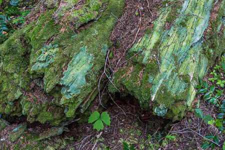 Moss and Lichen Covered Rotting Log in Olympic National Forest