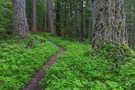 The Upper Dungeness Trail Through Woods in Olympic National Fore