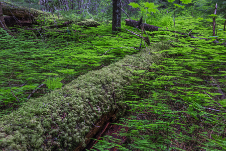Oak Fern Thriving on the Floor of Olympic National Forest