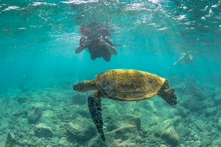 Pacific Green Sea Turtle and Snorkeler Swimming off the Big Isla