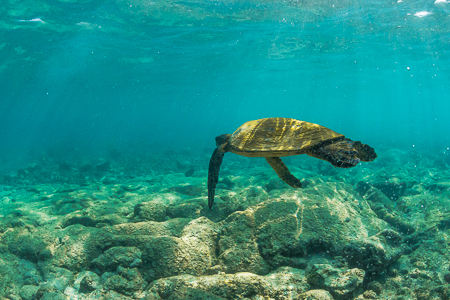 Pacific Green Sea Turtle Swimming off the Big Island of Hawaii