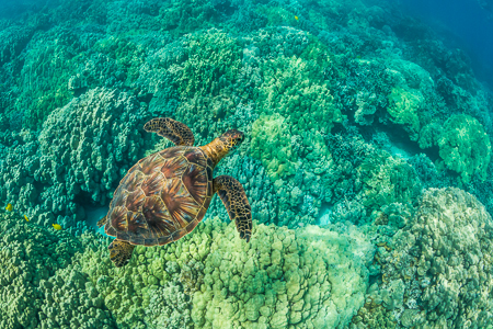 Green Sea Turtle Swimming among Coral Reefs off Big Island of Ha