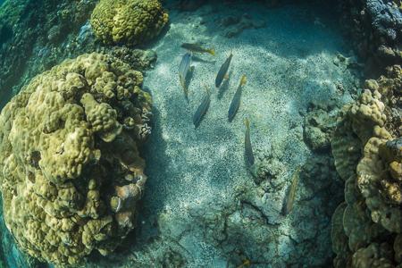 Resting Yellowfin Goatfish in Kopoho Tide Pools off Big Island o