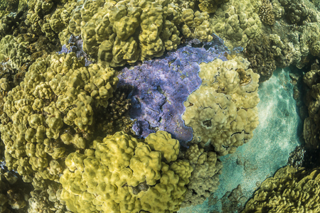 Blue Rice Coral, Montipora flabellata, in Kopoho Tide Pools on H