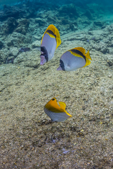 Lined and Threadfin Butterflyfish off Big Island of Hawaii