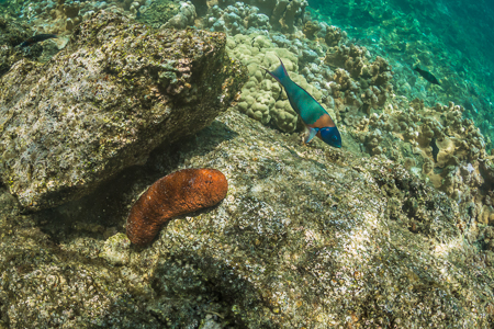 Saddle Wrasse and Plump Sea Cucumber off Big Island of Hawaii