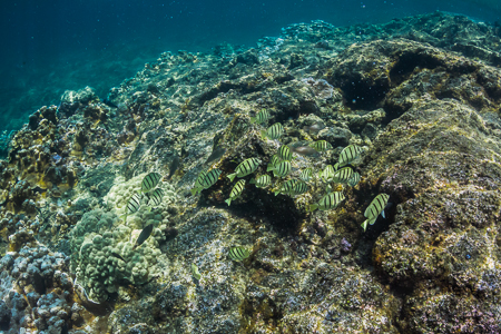Convict Tangs over Coral Reef off Big Island of Hawaii