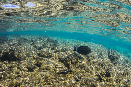 Ringtail Surgeonfish and Reef Reflections off Big Island of Hawa