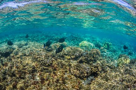 Ringtail Surgeonfish and Reef Reflections off Big Island of Hawa