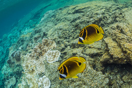 Raccoon Butterflyfish in Kapoho Tide Pools off Hilo Coast of Big