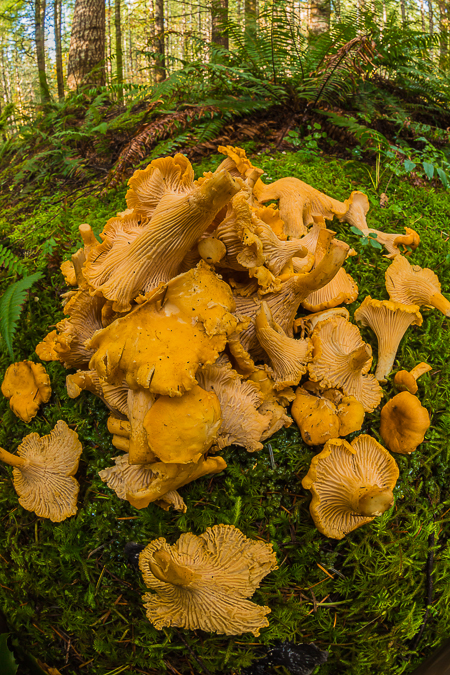 Yellow Chanterelles, Cantharellus cibarius,  Gathered on the Oly