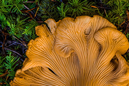 Yellow Chanterelle, Cantharellus cibarius,  on the Olympic Penin